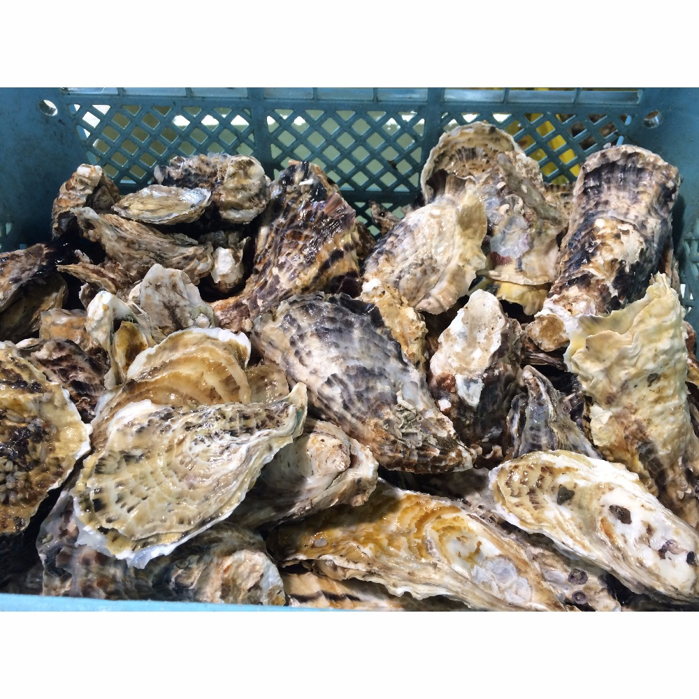 High quality seafood product fresh 1 year oyster with competitive price