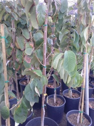 Cheap Cherimoya Tree For Sale, find Cherimoya Tree For Sale deals on