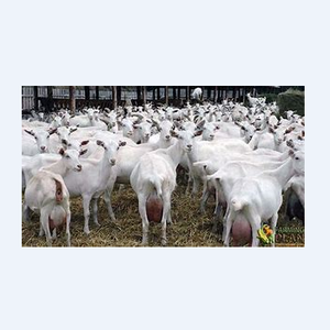 Saanen Goat 100% Pure-blood for sale