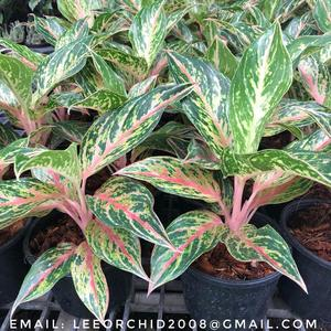 Wholesale Aglaonema Pot Plants in Thailand @ Best Price Try Us!!!