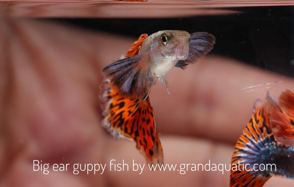 Big ear guppy for Freshwater Aquarium fish export company from Thailand