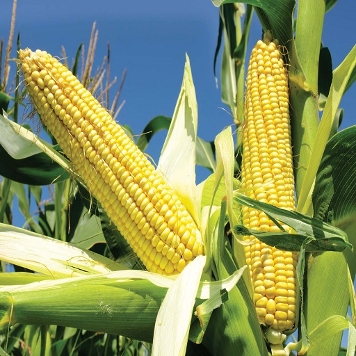 飼料グレードの黄色のトウモロコシ/黄色のトウモロコシ/白のトウモロコシ非gmo