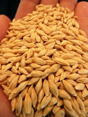 Natural Raw Barley / Malt /Human Consumption / Animal Feed / Fodder / Indian origin