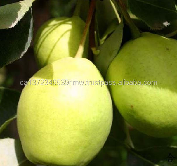 Natural Fresh Sweet Nutrition Pear Export Quality