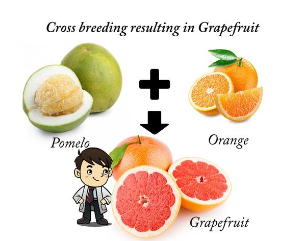 grape_fruit_cross.jpg