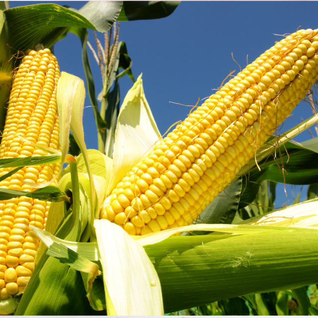 Yellow Corn/ yellow corn for human consumption non gmo yellow corn/ yellow corn for animal feed popcorn