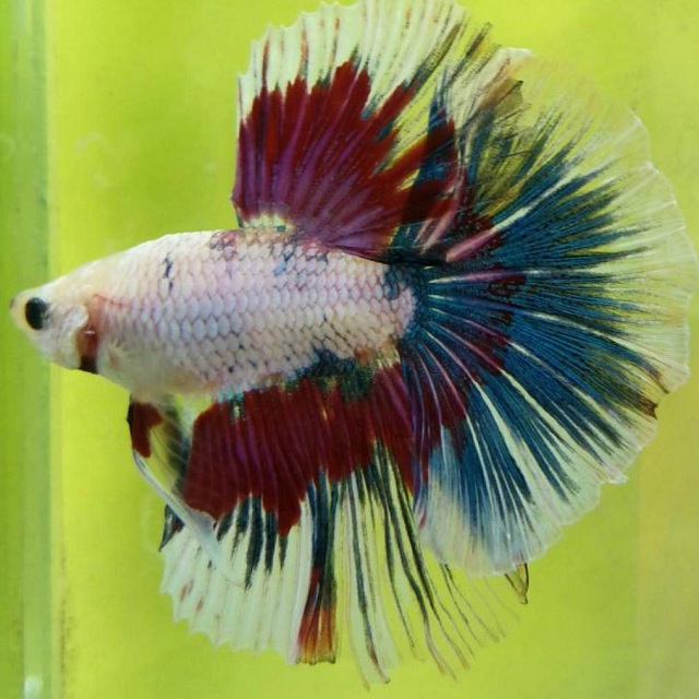 High Quality Live Aquarium Fish Exporter Of Live Ornamental Fish Buy Tropical Fish Live Fish Freshwater Fish Product On Alibaba Com