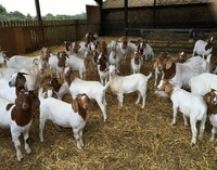 Live Sheep, Boer Goats, Holstein Heifers, Cows, Camels for Sale